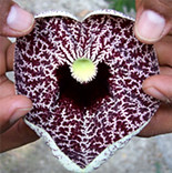 Aristolochia flower
