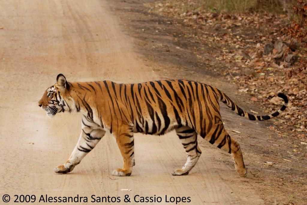 Chorbhera Tigress _MG_0765_F