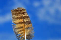 Great Horned Owl  Feather (jdmuth) Tags: hawk feather redtailedhawk hawkfeather