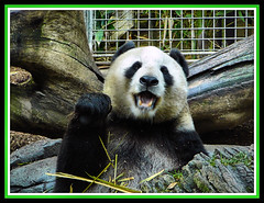 Panda Shout * (NatePhotos) Tags: pictures color colors beautiful san photos shots scenic taken diego nate