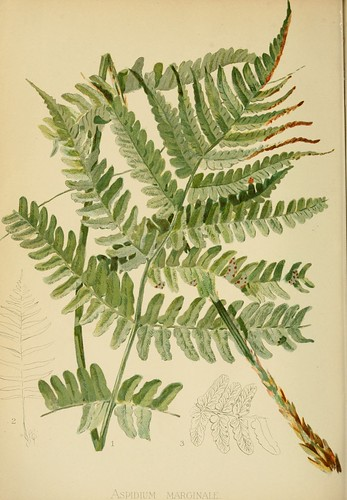 Borded Shield Fern