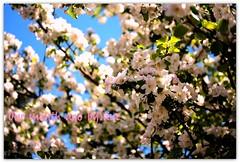 One month ago (LETHO 2706) Tags: flower blossom may blumen bluesky mai blauerhimmel picnik springtime apfelbaum frhling blten appeltree apfelblten appelblossom rosengewchs bysne