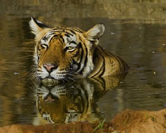 T 17 (Koshyk) Tags: summer brown reflection water yellow tiger thirst rajasthan ranthambhore projecttiger ranthambhoretigerreserve