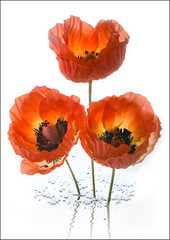 Poppies (Bald Monk) Tags: lighting flowers blue red white black flower green robert water yellow photography three stem underwater flash bald bubbles monk rob poppies splash tunstall strobist