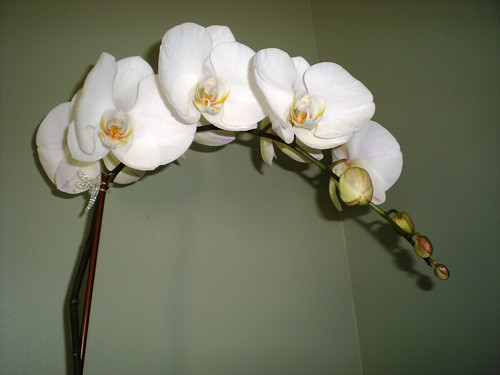 Orchid from Paul & Sami