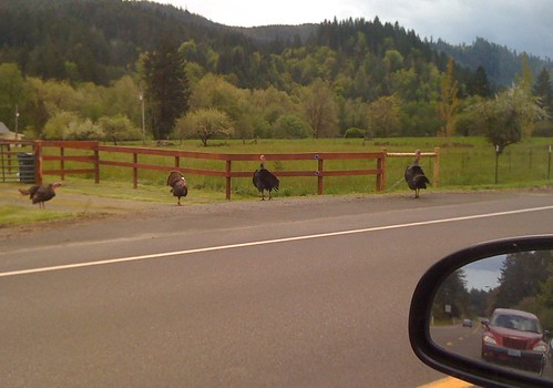 Turkeys by the highway