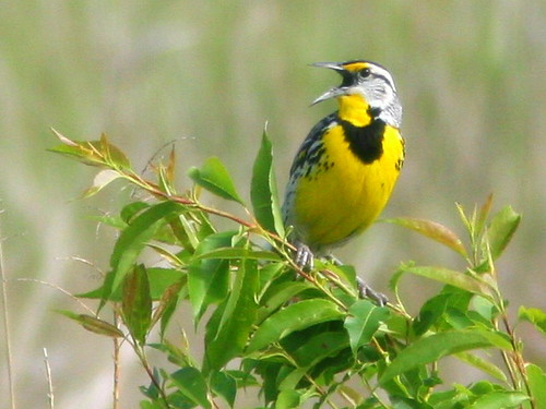 Eastern Meadowlark 20100518