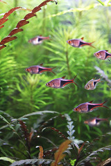 22 harlequin2 (George Farmer) Tags: plants fish water aquatic aquascape tropica aquascaping tgm georgefarmer ukaps interzoo