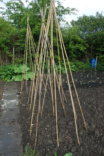 runner bean wigwams May 10