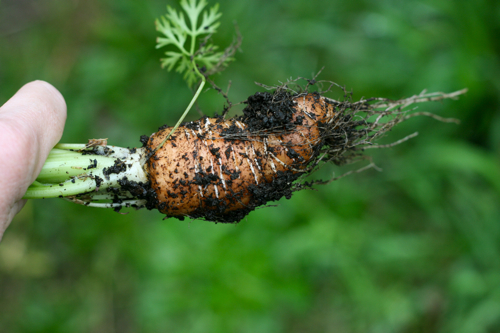 why you shouldn't transplant carrot seedlings