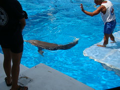 Winter with her artificial tale attached (Hoosierguy Jeff) Tags: winter fish water aquarium florida turtle dolphin dolphins panama clearwaterbeach seaturtle clearwater pinellas clearwaterflorida dophin pinellascounty clearwaterbeachflorida clearwateraquarium dolphintale winterthedolphin