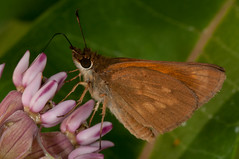 Broad-winged Skipper (sjdavies1969) Tags: animals unitedstates butterflies maryland insects lepidoptera animalia arthropoda invertebrates skippers insecta hesperiidae uppermarlboro broadwingedskipper poanesviator rhopalocera
