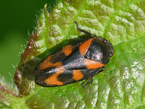 Froghopper  (Cercopis Vulnerata) by Peter Orchard