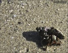 Passeggiatina in spiaggia.. (BaileyMary) Tags: sea animal canon mare lungomare spiaggia animali pagurus sabbia conchiglia crostacei milantoni paguro guscio crostaceo gasteropodi paguridae eos1000d paguridi mariamilantoni milantonimaria