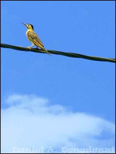 Pica-pau amarelo