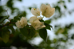 White Bougainvillea (Anushruti RK) Tags: flowers light beauty garden bokeh bougainvillea beautifulcolors geen florescence beautifulflowers mywinners fabulousflowers anushruti flowerwithleaves flowersofnature beautyofflowers