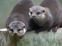 Otters (VillaRhapsody) Tags: winter 2 two cute animals turkey zoo grandmother istanbul february acg otters bigmomma gebze cy2 challengeyouwinner darica villarhapsody cuteotterface motmoct11