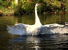 swan doing is exercise (coral.hen4800) Tags: life trees wild white pond woods squirrel gray parks swans supershot