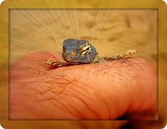 Lezard of the Desart (SWAIDAN  to Syria  G.W.L.K_) Tags: canon flickr hand desert kuwait  eso lezard  desart              swaidan