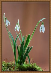 Snowdrops (Paul Iddon) Tags: flowers plants white nature closeup soil maco snowdrops blooms mosses sigma105 iddon fantasticflower aplusphoto themacrogroup flickrflorescloseupmacros