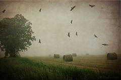 Hay Rolls and Fog (OneEyedJax) Tags: tree texture grass birds fog wisconsin rural flying spring wings farm country flight diving hay hayrolls blackbirds springtime farmfield farmersfield swooping platinumphoto
