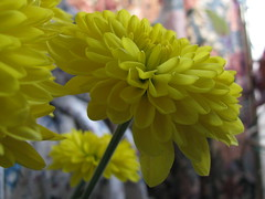 Yellow (Billy Wilson Photography) Tags: flowers ontario canada flower color colour macro colors yellow closeup canon photography photo petals flora colorful flickr colours indoor powershot stamens indoors colourful soo northern stigma calyx corolla saultstemarie northernontario algoma anthers sepals carpels perianth sx110 thebillster23 floralorgans