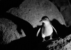 Little Penguin at St Kilda Pier (Richard.Fisher) Tags: cute st penguin pier little adorable australia melbourne super victoria fairy kilda eudyptulaminor