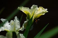 Busy Bee - HBW (Sabreur76) Tags: iris flower macro bug insect geotagged louisiana bokeh neworleans bee citypark vicen hbw bej nikond80 feli diamondclassphotographer flickrdiamond betterthangood sabreur76 vicenfeli geo:lat=29984956 geo:lon=90096978