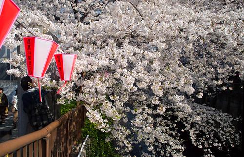 Sakura in Naka Meguro 11