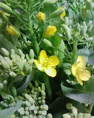 【アドエスphoto】なばなの開花