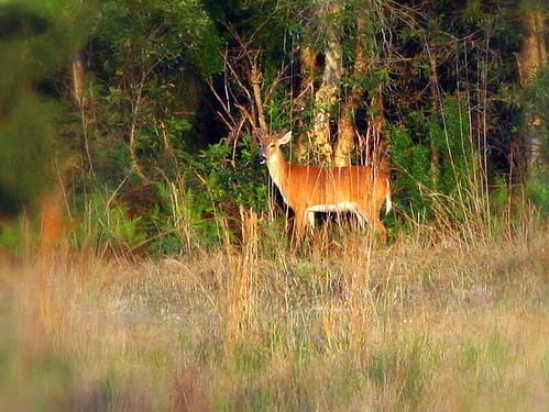 Distant Deer 20090416