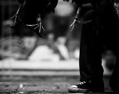 COCKFIGHT (71) (Peter_O'Driscoll) Tags: gambling game spur fight fighter attack culture cockpit clash peter coliseum rooster tradition breed combat gamble betting bet cultural gladiator manok gamecock gambler gallera sabong wager bloodsport cockfighting odriscoll stamina warrier panay gamefowl hahnenkampf cityoflove iloilocity combatdecoqs rinhadegalo bulang  colseum sagupaan g combattimentodigalli bulangan pasampok   riadegallos   sabonero manoktukaan peterodriscoll