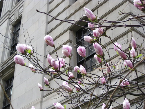 Magnolia Tree - April 28, 2009