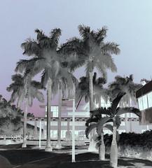 University of Miami (zachstern) Tags: trees wallpaper canon landscape ir palm powershot infrared infravermelho universityofmiami infrarot  ircamera g9 infrarrojos   infrapuna infrarood infrarouge infrarossi   maxmaxcom inframerah   infravrs xnitecanong9 infraerven
