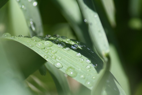 20090428_rainy_leaves_0008