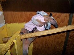 Anteater up high