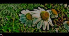 ('sema) Tags: texture love me by taken e daisy hali aşk papatya fotoğraf aşkın flickrlovers