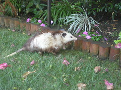 Opossum Bob yawning, look at his jaws (Mary Cummins) Tags: california wild possum rescue fish game animal losangeles opossum wildlife department broker appraisal appraiser wildliferehabilitation animaladvocates marycummins marycumminscobb marycobb wildliferehabilitator animaladvocatesus marycumminscom marykcummins cumminsrealestateservices