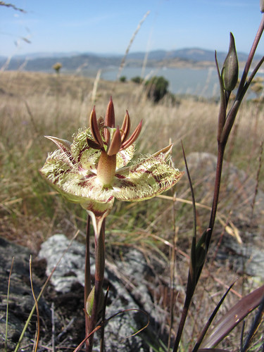 calochortus with a view