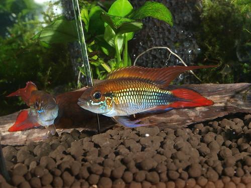 P5296938  藍體紅尾阿卡西
