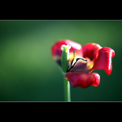 Goodbye Spring (JannaPham) Tags: life old red flower macro green dedication canon garden eos golden spring friend flickr pretty friendship bokeh moscow sunday young tulip 5d goodbye markii hss project365 83365 jannapham