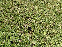 water cabbage (Pistia stratiotes) REPOLLITO DE AGUA ..... Original = (3648 x 2736) (turdusprosopis) Tags: araceae aquaticplants waterlettuce muschelblume candombl arumfamily wassersalat invasiveplants watercabbage aronstabgewchse plantasacuticas lechugadeagua  floatingplants pistiastratiotes  laituedeau repollodeagua  ervadesantaluzia floraargentina boci repollitodeagua arceas aroideae plantasargentinas plantasdeargentina plantasautctonasargentinas plantasautctonasdelaargentina floraautctonaargentina floraautctonadeargentina plantasnativasargentinas plantasnativasdeargentina plantasnativasdelaargentina floradelaargentina floradeargentina plantasautctonasdeargentina floraautctonadelaargentina floranativabrasileira floranativadobrasil floradobrasil argentineindigenousplants argentineflora froschlffelartige  aronskelkfamilie invasiveaquaticplants  pistiarozetkowa salotinpistija vandenssalota    hry aquaticinvasiveplants freefloatingplants repollitodelagua repollodelagua repolhodgua alfacedguaegolfo vannsalat myrkonglefamilien   grnewasserrose aquarienpflanz guasagrada ojuor olhossagrado pistieae