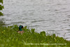 Along Baker Park (gotbob) Tags: green water creek canon mallard fowl slidr