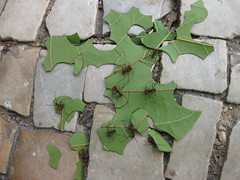 Leaf Cutters (jACK TWO) Tags: brazil green latinamerica southamerica nature rio brasil riodejaneiro leaf stones wildlife insects scissors puzzle ants jigsaw cobbles cutter leafcutter zoology formiga naturejigsaw