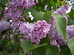 Ya es primavera (Iridiai) Tags: flower nature purple flor catalonia lila catalunya loveartflowers iridiai