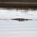 Crocodile swimming up the river