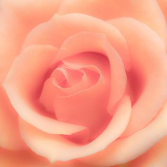 Romantic rose (manu4971) Tags: pink france flower macro nature fleur up rose closeup canon garden eos 350d petals flora europe close natural flor maine jardin rosa sigma topc100 105 loire topv100 flore angers végétation anjou petales flickraward