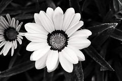 BLACK AND WHITE (king David Israel) Tags: flowers white black paris london blanco canon landscape nikon colours pentax sony negro flor olympus