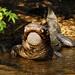 American alligator Alligator mississipiensis