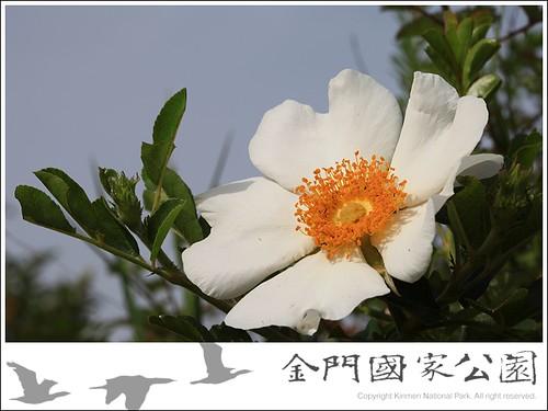 琉球野薔薇-02